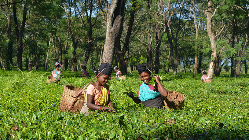 tea-garden-dsc_0264